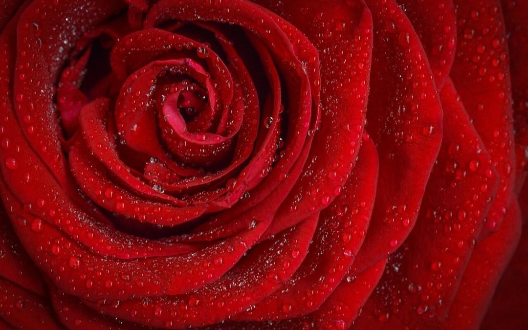 Si ce sont des roses elle fleuriront…