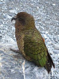 Kea, le perroquet des montagnes