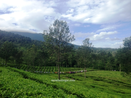 Teawalk di Gunung Mas