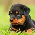 7 Reasons Why Rottweilers Are The Best