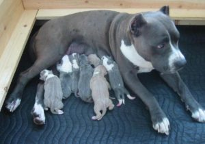 blue-pit-bull-puppies