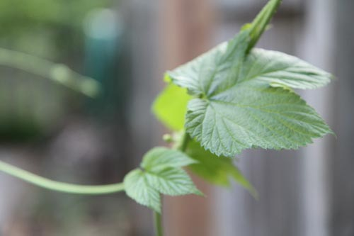 hop-leaf
