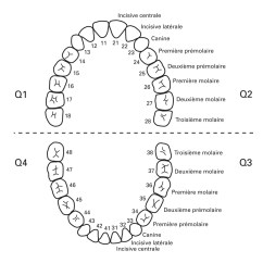 Diagram Of Teeth And Their Numbers Guitar Wiring Maker Opinions On Dentition