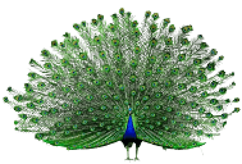 kisspng-peafowl-adobe-systems-peacock-opens-the-screen-5a8d0f454b1188.6536673915191939253075