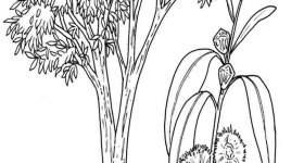 Eucalipto da colorare — Mondo Bimbo