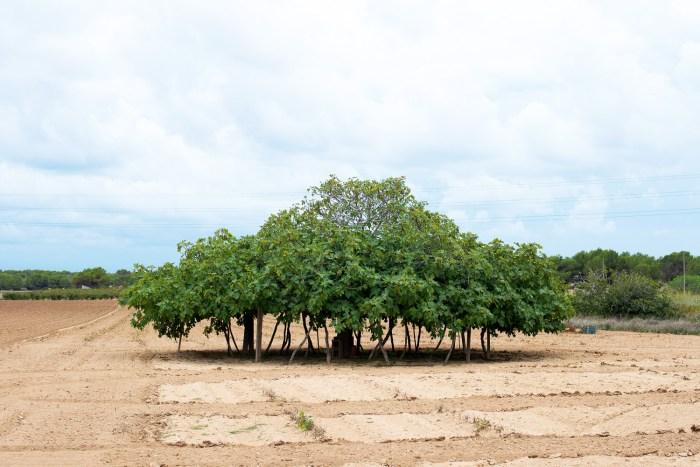 Fig-Tree-Formentera-1