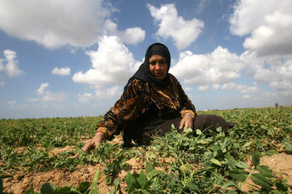 A Palestinian woman harvests a pea crop at a farm in Khan Younis in the southern Gaza Strip March 5, 2013. (Photo: Eyad Al Baba/APA Images)