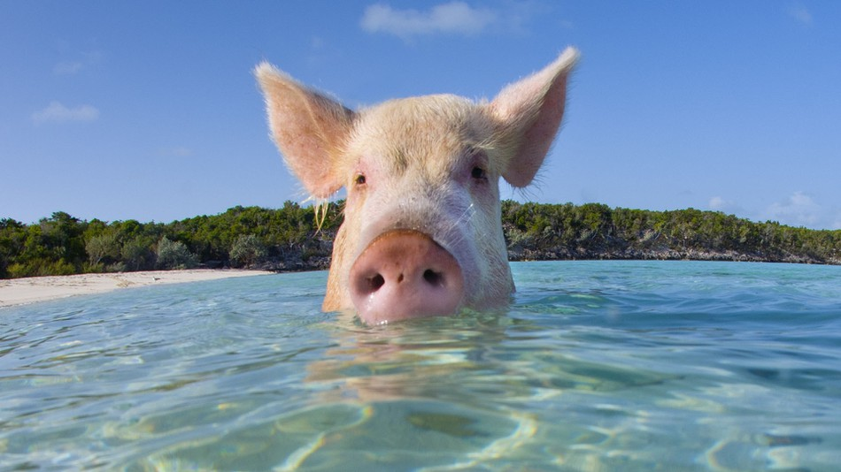 Cute Real Pigs Iphone Wallpaper Where Cute Animals Rule Bunny Island Pig Beach And Sloth