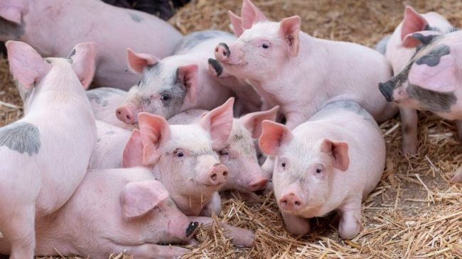 Do you want to cuddle pigs? This animal sanctuary needs your help.