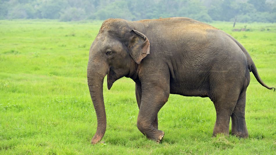 india s first elephant