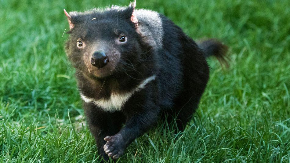 newly found tasmanian devils