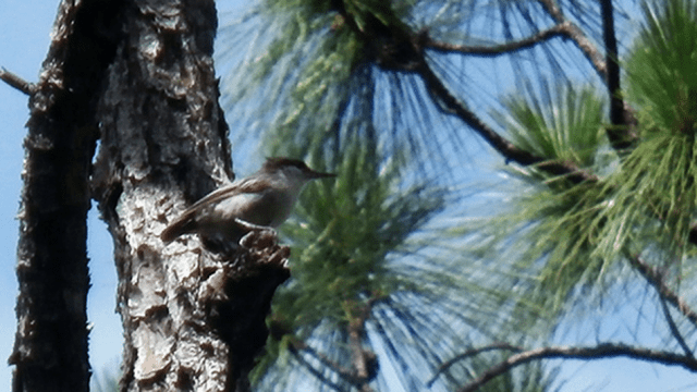 A Bahama nuthatch, before Dorian struck.