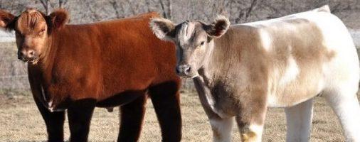 Бизнес-идея: Разведение карликовых коров
