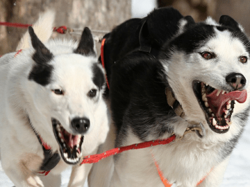 Two huskies running to a can of bumble bee tuna, perhaps?