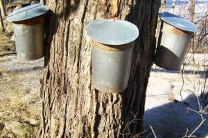tapping for maple syrup