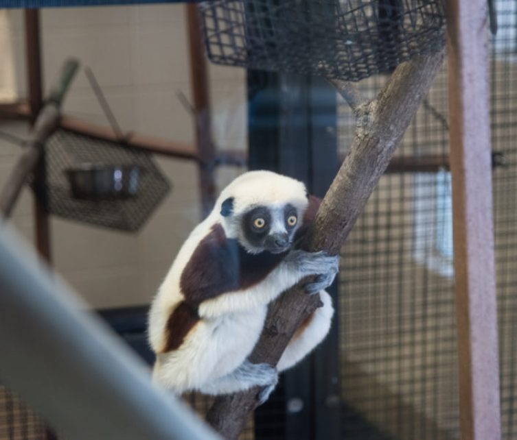 Animals at Duke Lemur Center