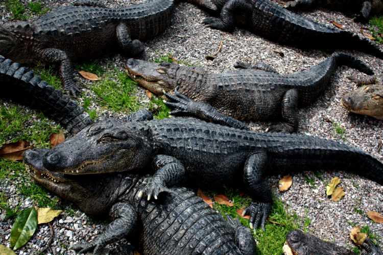 Arkansas Alligator Farm