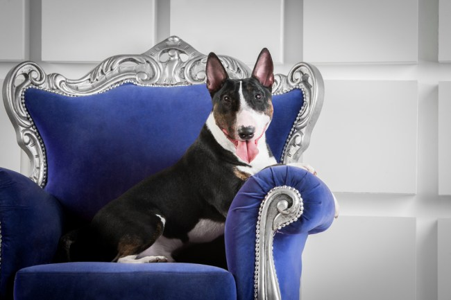 most expensive dog breeds mini bull terrier