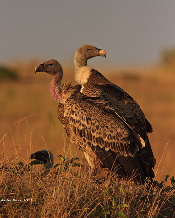 Rueppell's vulture (Gyps rueppellii). Photo by Andre_Botha.