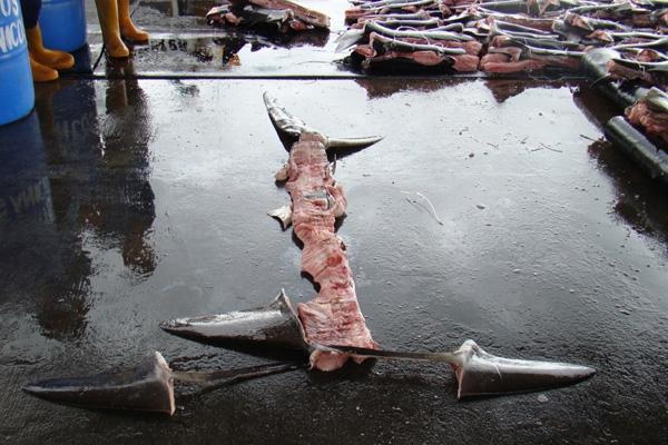 """Técnica de corte de las aletas de tiburón en la que tan solo una franja de piel mantiene las aletas unidas a la espina dorsal y el resto del cuerpo se lanza al mar. Este método tiene la intención de sortear la legislación que prohíbe el cercenamiento de aleta; la ley indica que las aletas de tiburón deben estar """"naturalmente unidas"""" al cuerpo."""