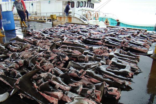 """Técnica de corte de las aletas de tiburón en la que tan solo una franja de piel mantiene las aletas unidas a la espina dorsal y el resto del cuerpo se lanza al mar. Este método tiene la intención de sortear la legislación que prohíbe el cercenamiento de aleta; la ley indica que las aletas de tiburón deben estar """"naturalmente unidas"""" al cuerpo. Imágenes cortesía de INTERPOL."""