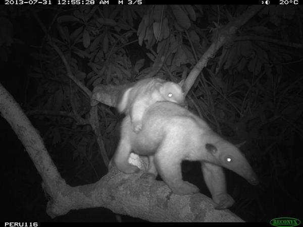 Tamandua (Tamandua tetradactyla) with baby. Photo courtesy of the Smithsonian Conservation Biology Institute.
