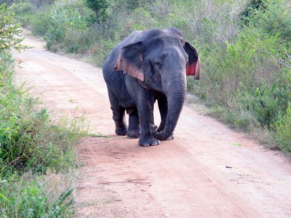 Dwarf adult Asian elephant (Elephas maximus). Photo by Brad Abbott.