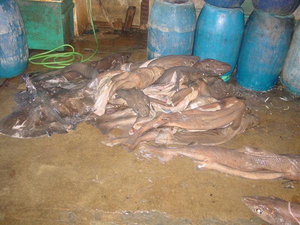 Captura de tiburones y rayas de aguas profundas en Cilacap, Java Central, Indonesia. Los tiburones y rayas de aguas profundas se ven cada vez más amenazados, puesto que el sector de la pesca está vaciando las aguas costeras poco profundas y se ve obligado a trasladarse a zonas de mayor profundidad. Crédito de la fotografía – Australian National Fish Collection, CSIRO.