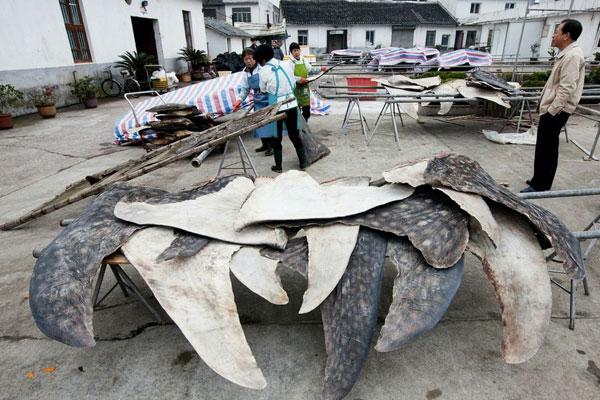 Matadero de tiburones en Pu Qi