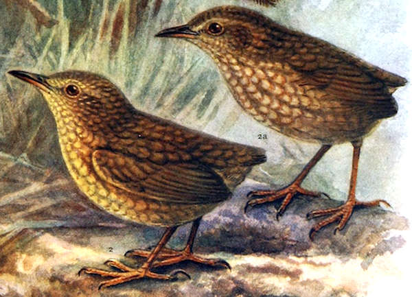 The Stephens Island Wren (<i>Xenicus [Traversia] lyalli</i>) was a flightless, nocturnal bird limited to one small island off the coast of New Zealand. It was driven to extinction by cats in the late 1800s.