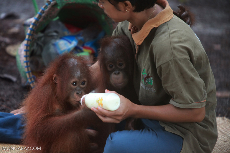 Two Baby Orangutans, both orphans