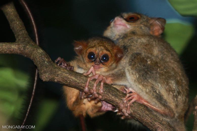 Us Pygmy Breeders Marmoset