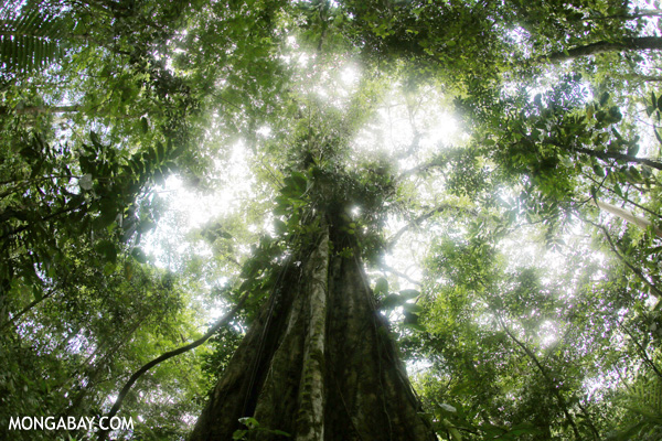 Looking up at a giant tree in the Costa Rican rainforest Photo credit: Rhett A. Butler / mongabay.com