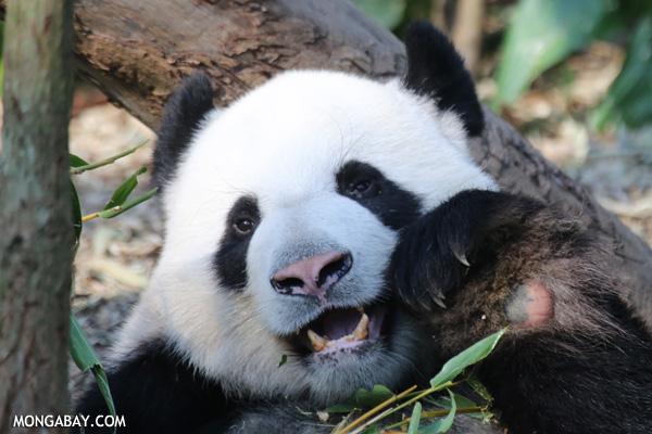 Giant panda eating bamboo. Photo by: Rhett A. Butler.