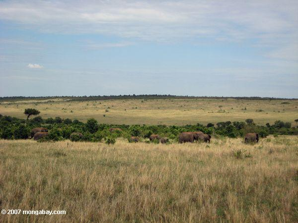 Elephants feeding on a grassy plain