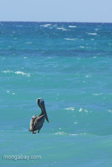 A pelican at Cabo Rojo in the Dominican Republic. Photo by: Tiffany Roufs.