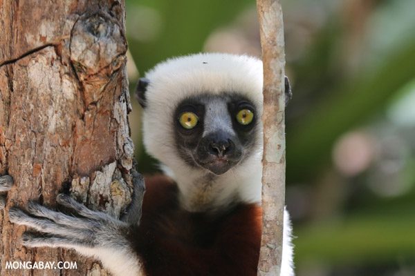 An endangered lemur: the Coquerel's sifaka (Propithecus coquereli). The IUCN Red List recently announced that 94 percent of the world's lemurs are threatened with extinction, making them one of the most imperiled groups. Lemurs are only found on the island-nation of Madagascar. While the primates are vanishing, the human population has soared. Currently growing at around 2.8 percent, over 40 percent of the island's population is under 15. Photo by: Rhett A. Butler.