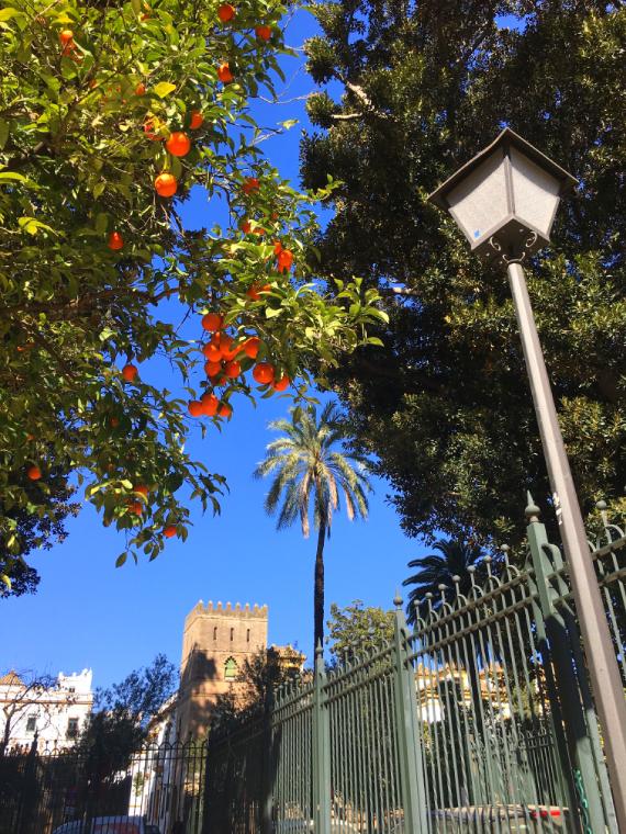 セビリアのサンタクルス街にあるムリーリョ公園のオレンジ