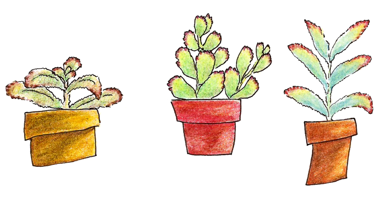 Succs in pots - 3 colored pencil drawings of succulents in a horizontal row. All three plants are fuzzy with various shades of green leaves with brown tips.