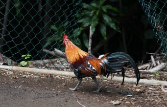 The number chickens in Kauai are comparable to the number of squirrels at home. They are everywhere!