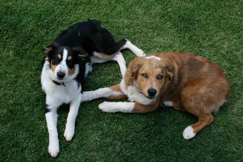Oscar and Lulu pups