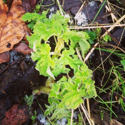 Common Hogweed in February