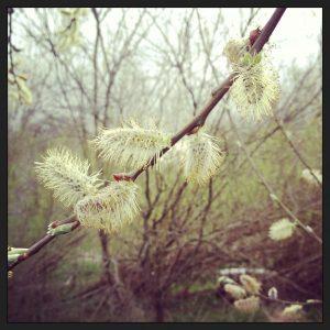 White willow catkins