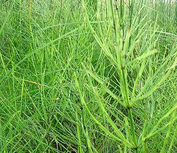 Horsetail mező a prosztatitisből)