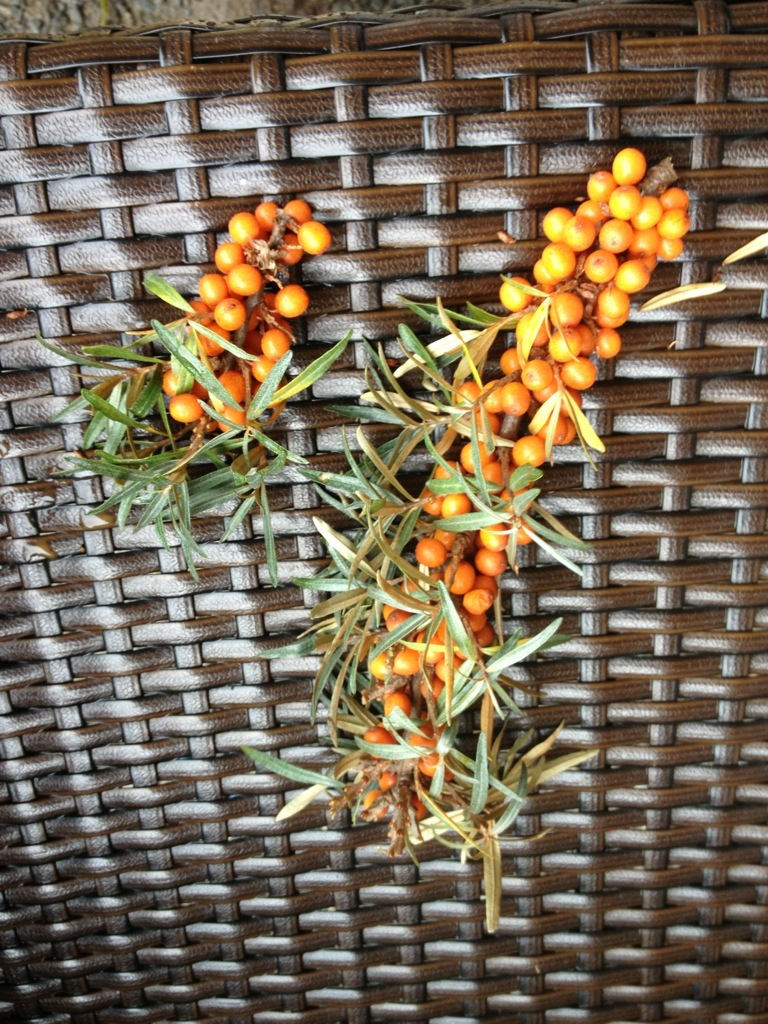 How to collect sea buckthorn
