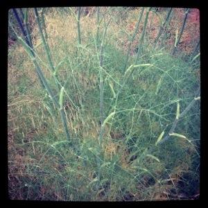 Wild fennel (Foeniculum vulgare)