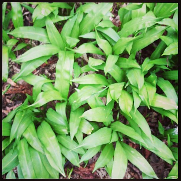wild-garlic
