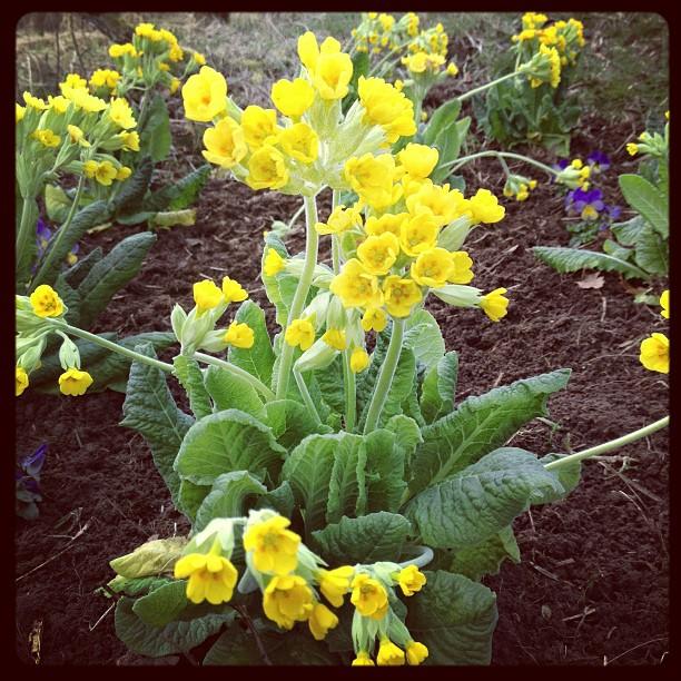 cowslip-flowers