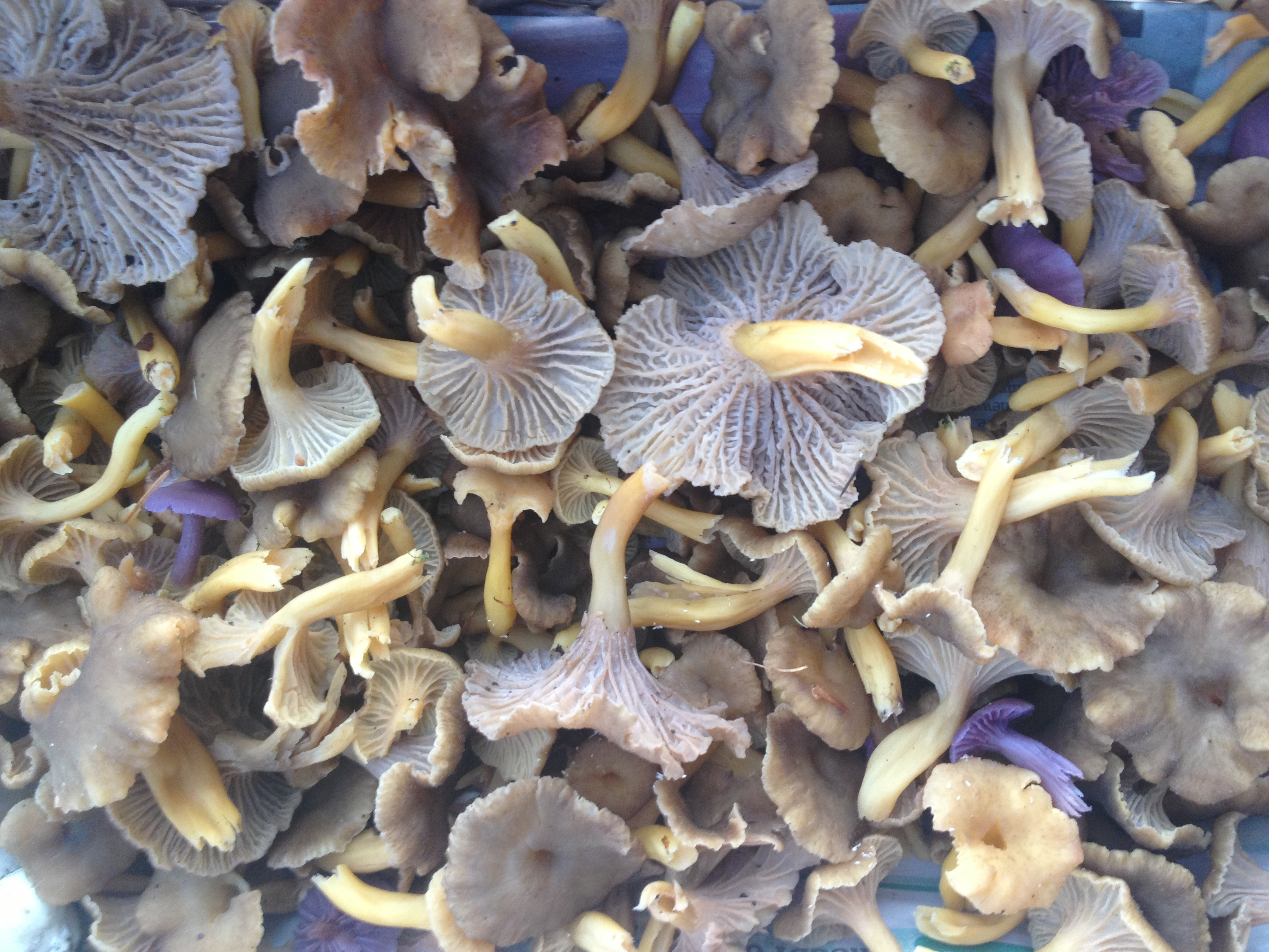 Winter Chanterelles and Amethyst Deceivers