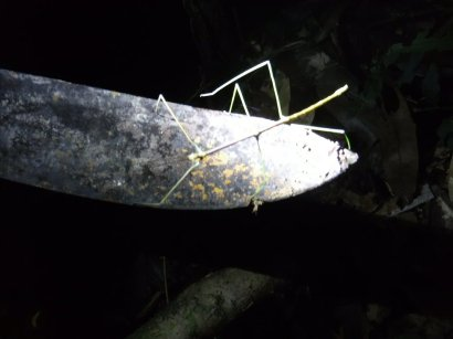Surprisingly strong stick insect